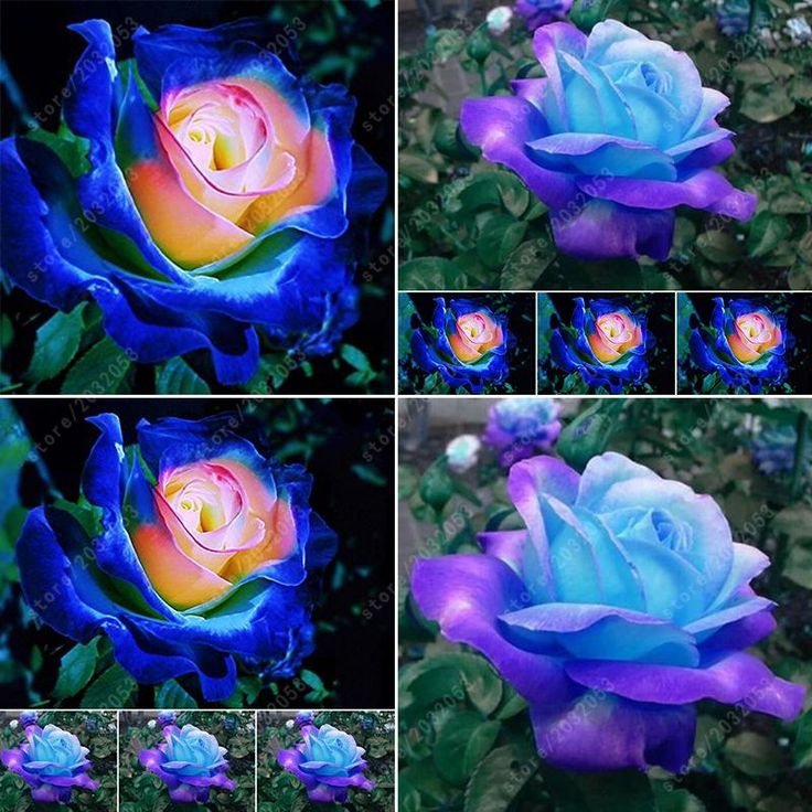 how to grow blue roses from seeds
