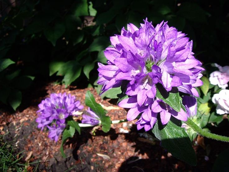 An alphabetized list, with pictures and information, of the perennials and shrubs that have been grow in zone 3. All of these plants have made it through a number of winters in Edmonton, Alberta!