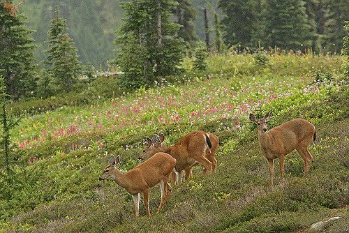 https://flic.kr/p/7wMTVw | Little Flower Field | Black-tailed deers with magenta paintbrush in the background, Mount Rainier  オジロジカと咲き乱れるエフデグサ、マウント・レーニア国立公園