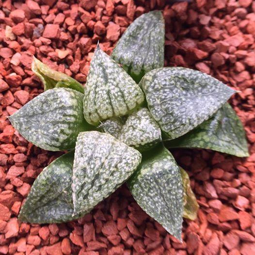 Haworthia emelyae JDV90/7