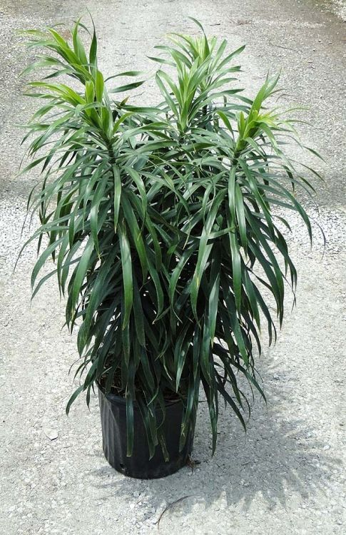 4b2bbb61101ee795ab712a78a4c767ea--anita-sunshine Palm Care Indoor Houseplants on palm flowers, palm trees, palm shrubs, palm indoor seeds,