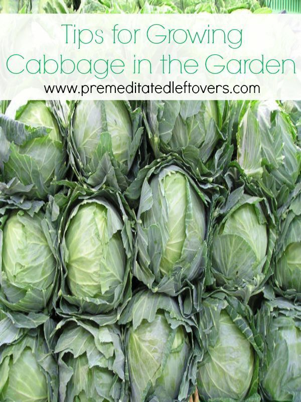 Tips for Growing Cabbage in Your Garden - How to grow cabbage from seed, how to transplant cabbage seedlings, when and how to harvest cabbage plants.