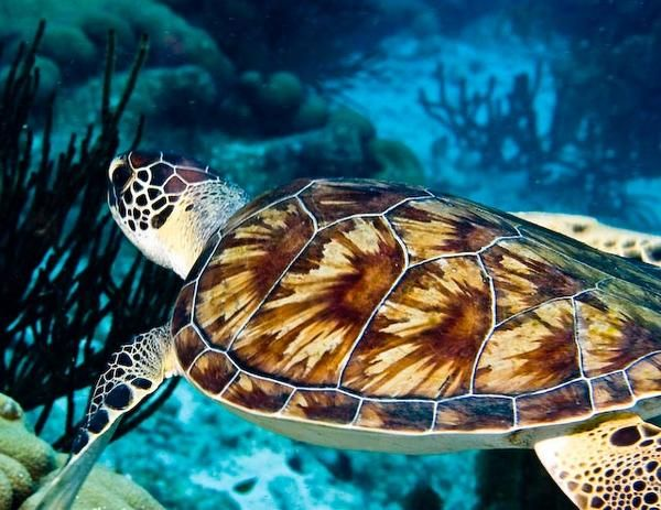 Hawksbill Turtle. Endangered Species of the Everglades.