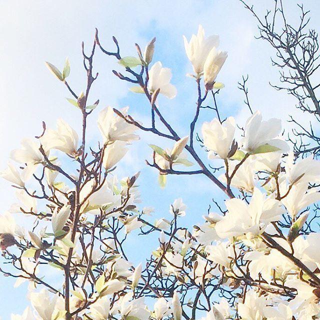 #spring in #berlin . . . . #visit_berlin #instagood #instadaily #vsco #vscocam #ig_captures #ig_europe #instacool #vscobeauty #vscobeautiful #vscoberlin #flowers #sun #sunnyday #sky #tree #trees #tree_captures