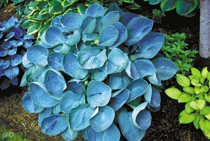 'Love Pat' -  Since most blue hostas only have one flush of leaves per year, if blue color is lost at any point during the season, it will remain so until the following year. For best results, plant where they will receive some morning or evening sun and avoid the hot overhead afternoon sun.