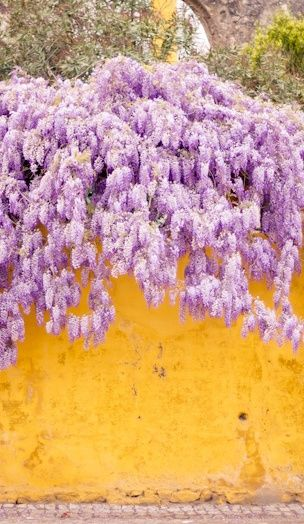 Wisteria made more appealing because of the yellow wall. Purple and yellow being…