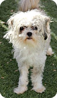Pictures of Jaxton a Maltese Mix for adoption in Phoenix, AZ who needs a loving home.