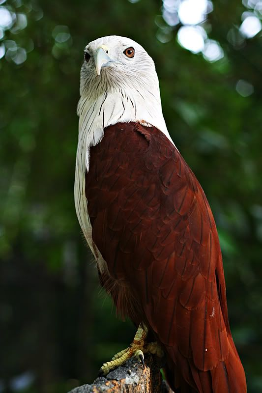 Brahminy Kite (Haliastur indus) also known as the Red-backed Sea-eagle in Australia. A medium-sized bird of prey, it is found in India, Southeast Asia, and Australia.