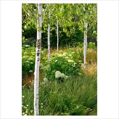 Silver birch underplanted with hydrangea and grasses for Silver birch trees for small gardens