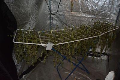 Na suszarce do bielizny 225 krzewów konopii