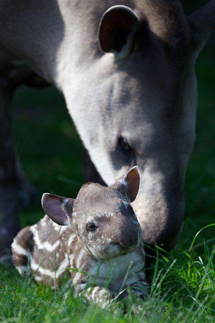 Baby Tapir with parent.
