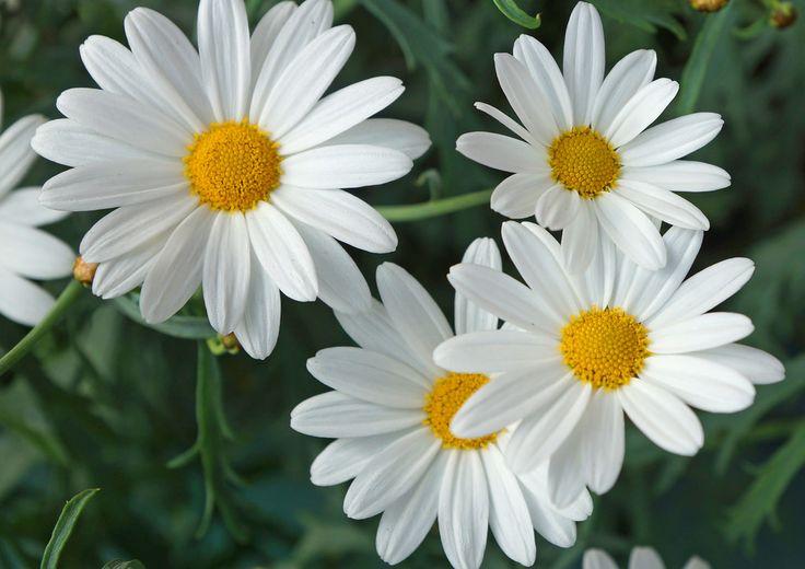 Margerit Chrysanthemum frutescens