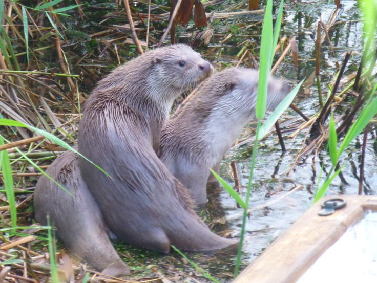 playing otters- oyunbaz su samurları