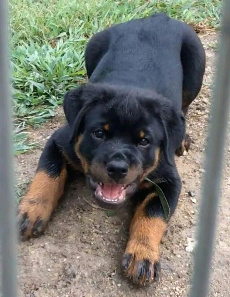Fantastic Rottweilers Info Is Offered On Our Website Take A Look And You Will Not Be Sorry You Did In 2020 With Images Rottweiler Puppies Rottweiler Dog Dog Breeds