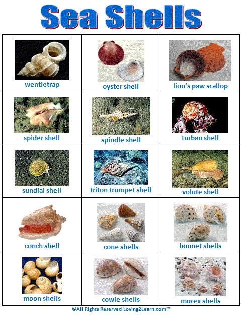 57 best images about seashell identification around the - Types of seashells for kids ...