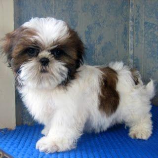 A cute little fluffy shih tzu.                              How I want a puppy !!!