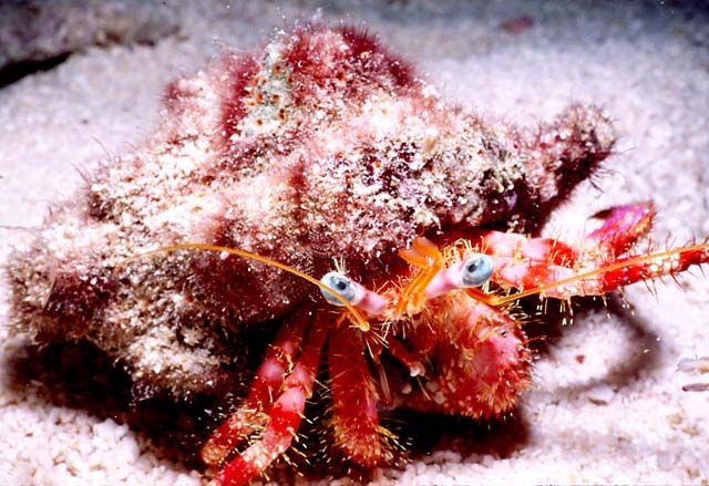RED HERMIT CRAB : Paguristes cadenati,photo by Fabio Ehrengruber.
