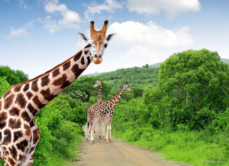 Parque Nacional Kruger (África do Sul) - Maior área protegida de fauna bravia da África do Sul, o Parque Nacional Kruger, junto com o Parque Nacional do Limpopo, em Moçambique, e com o Parque Nacional Gonarezhou, no Zimbabwe, forma o Parque Transfronteiriço do Grande Limpopo. Em um passeio pela área do parque você pode se deparar com animais selvagens como leões, girafas, elefantes, crocodilos, entre outros. Então esteja preparado para uma aventura inesquecível pela África!