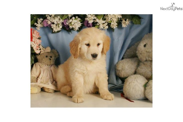You'll love this Female Golden Retriever puppy looking for a new home.