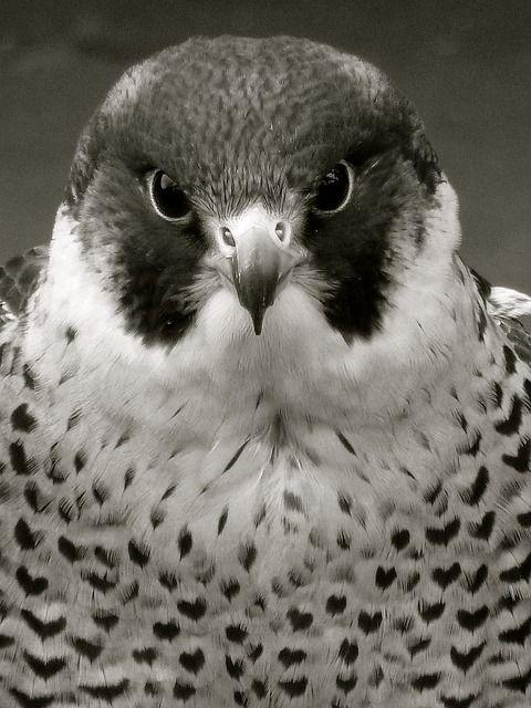Falcão-Peregrino, Raptor, Falcão, Pássaro, Natureza
