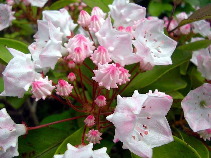 5月8日【カルミア】学名:Kalmia latifolia別名:アメリカシャクナゲ、スプーンの木形態:常緑樹 樹高:低木分類:ツツジ科花色:白、ピンク、紫など。つぼみは金平糖のような形で、開いた花は小鉢のような形をしています。使われ方:庭木などとして使われています。別名の「スプーンの木」は、昔アメリカインディアンが、この木の根からスプーンを作っていたことから。