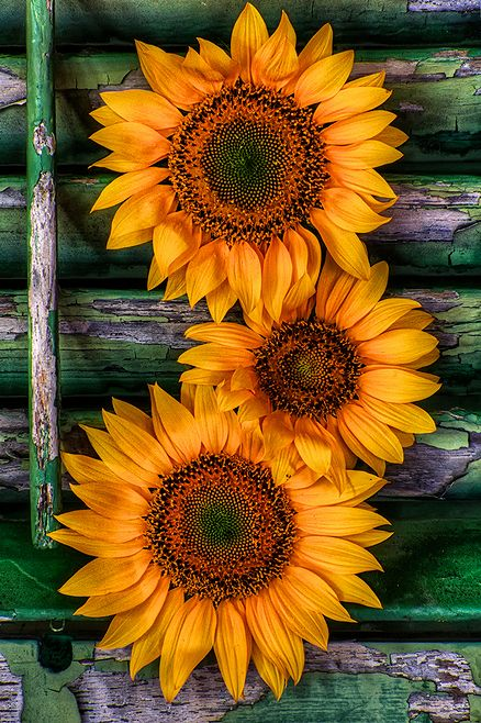 Sunflowers on plantation shutter in studio on Hilton Head Island by Jim Crotty