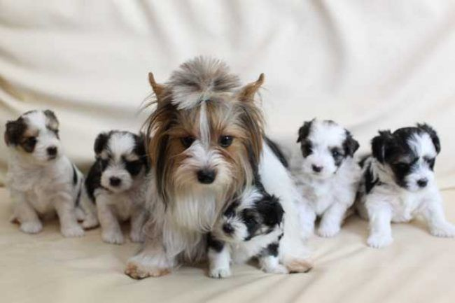 What Is A Parti Yorkie Everything You Need To Know Yorkie Yorkshire Terrier Yorkie Puppy