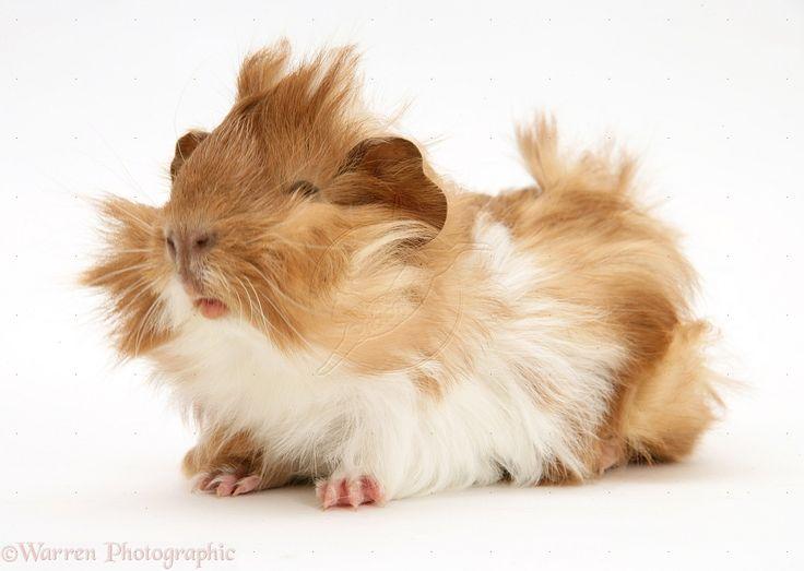 geniue pigs   Bad-hair-day Guinea pig photo - WP19542