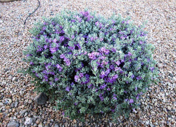 Texas ranger sage google search 2 garden pinterest for Low maintenance year round plants