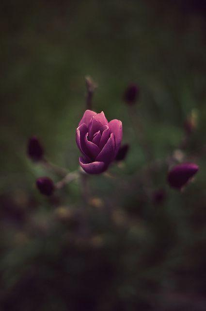 .: Rose, Magnolias, Nature, Bonsai Flowers, Magnolia Beautiful Flowers, Gardens, Bloemen Flowers Fleurs, Flowers Magnolia