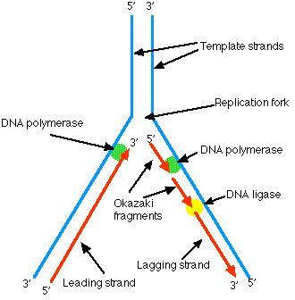 TJ. The Enzymes A portion of the double helix is unwound by a helicase. A molecule of a DNA polymerase binds to one strand of the DNA and begins moving along it in the 3' to 5' direction, using it as a template for assembling a leading strand of nucleotides and reforming a double helix. In eukaryotes, this molecule is called DNA polymerase epsilon (ε). Because DNA synthesis can only occur 5' to 3', a molecule of a second type of DNA polymerase (delta, δ, in eukaryotes) binds to the other…