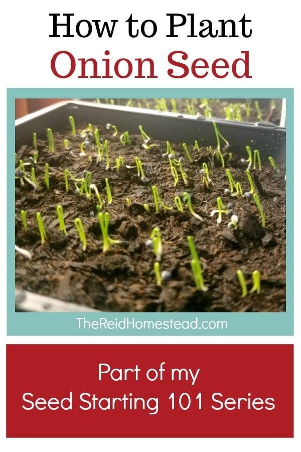 Seed Starting 101 How To Plant Onion Seed Indoors In Winter