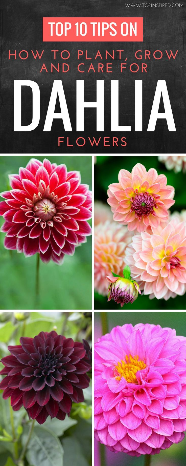 Top 10 Tips On How To Plant Grow And Care For Dahlia Flowers Top Inspired In 2020 Dahlia Flower Container Flowers Growing Dahlias