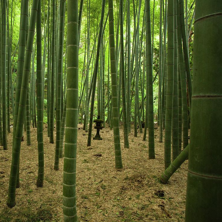 ✮ Giant Bamboo Forest With Stone Lantern, Japan