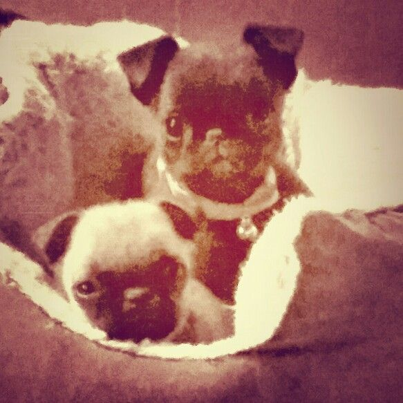 36 best pugs images on pinterest pug dogs pugs and baby pugs puggy ladybug thecheapjerseys Gallery