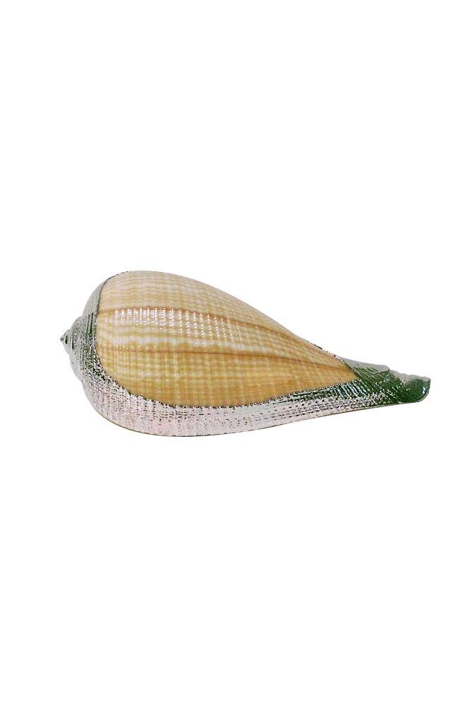SEA SHELL: In ancient Greece sea shells were symbols of ...