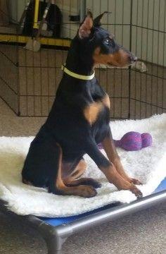 Doberman Pinscher puppy for sale in MOUNT JULIET, TN. ADN-28050 on PuppyFinder.com Gender: Female. Age: 4 Months Old