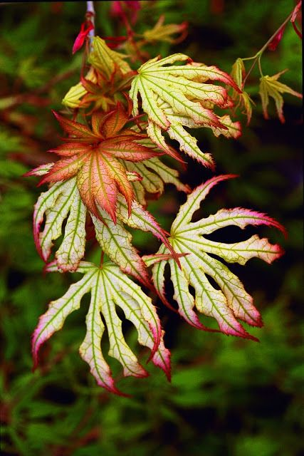 Flora Wonder Blog: Buchholz Plant Introductions - Acer palmatum 'First Ghost'