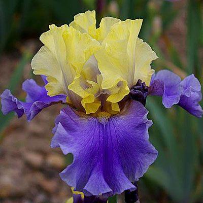 Ирис бородатый Эдит Уолфорд (в упаковке 1 шт.) Bearded Iris