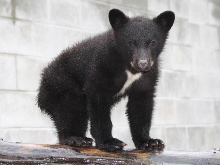 Black Bear cub at the North Island Wildlife Recovery Centre