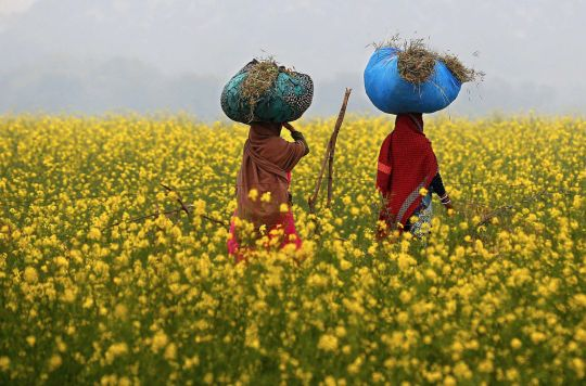 the mustard fields of india and bangladesh photographed by rajesh kumar singh in uttar pradesh