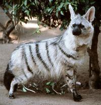 """Aardwolf - ele aardwolf é um pequeno mamífero insetívoro, nativo da África Oriental e Australia. Seu nome significa """"lobo terra"""" no idioma holandês afrikaans, a Aardwolf é da família das hienas. Mas, ao contrário de muitos de seus parentes não come carne ou sequer caça animais. Alimenta-se principalmente de insetos dos cupins."""