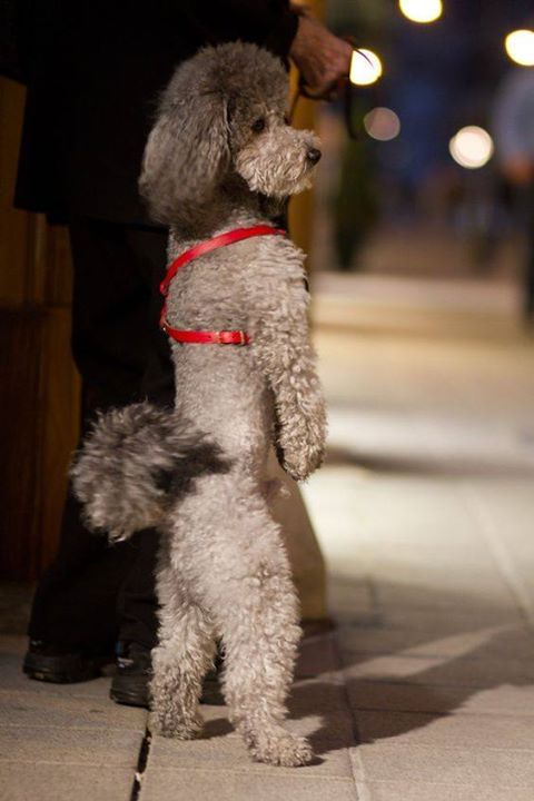 Walk like a Poodle. does your little fur buddy walk on two legs???
