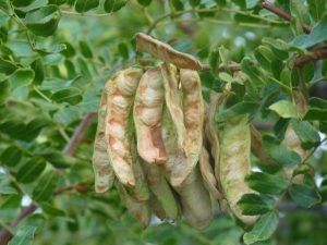 Caesalpinia spinosa seeds