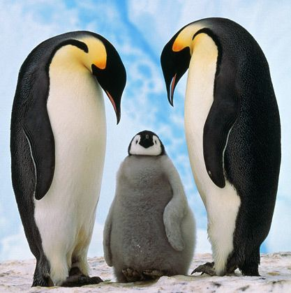 Penguins mate for life <3