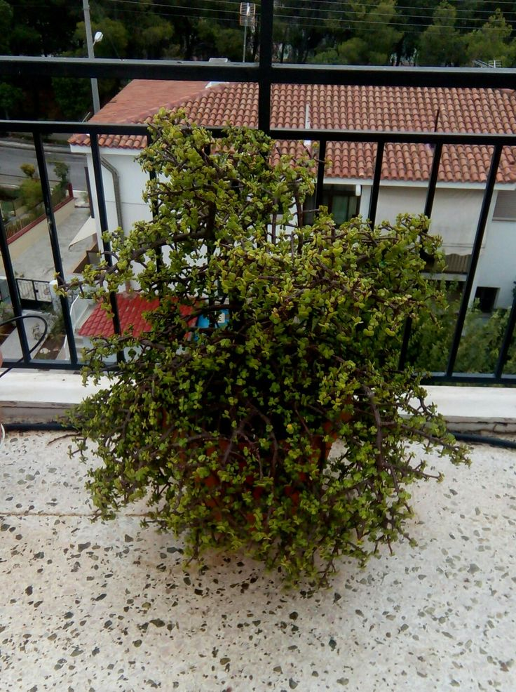 Η υπομονή είναι ένα από τα έξι γνωστά γένη κακτοειδών, που φυτρώνουν πάνω σε δέντρα. Πήρε το όνομά της από το Γάλλο συλλέκτη φυτών Φρεντερίκ Σλουμπερζέ. Φυτρώνει σε υψόμετρο 1.000-1.700 μέτρων. Είναι ένα από τα πλέον διαδεδομένα παχύφυτα.Βικιπαίδεια  Επιστημονική ονομασία:Schlumbergera Κατάταξη:Γένος