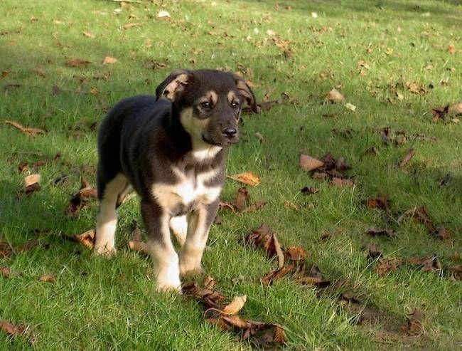 chiot croisé berger allemand | Chien Elliot chiot croisé Berger Allemand/Labrador - (0 mois)