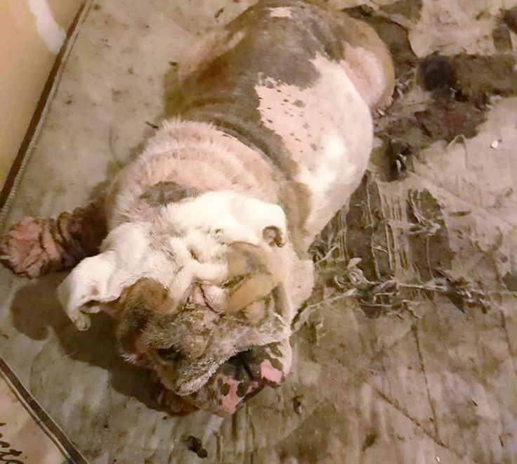Bulldog so badly neglected the vets cried when they saw him