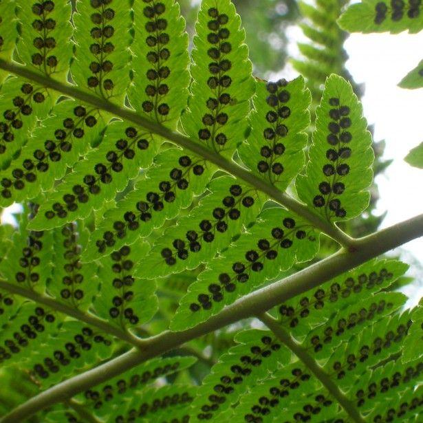 Fougère - Dryopteris goldieana - dryopteris goldiana - Aspidium goldianum - Un espèce majestueuse, aux très grandes frondes, vert pâle à reflets bleutés.