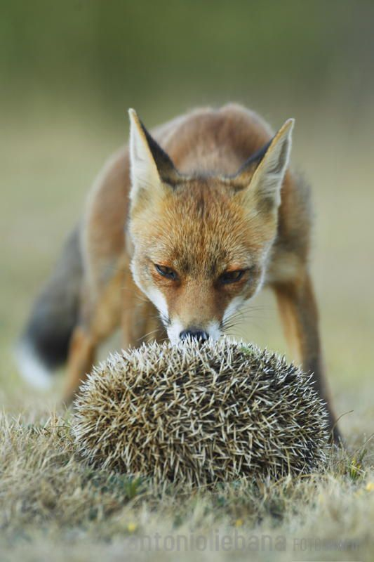 Young fox discovered his first hedgehog